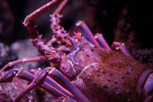 Japanese_spiny_lobster