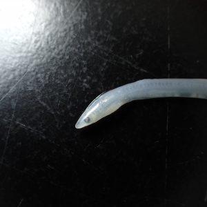 Anguilla japonica glass eel